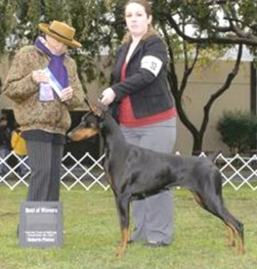 Champion Doberman Pinscher